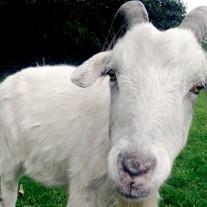 Stealing-Goat
